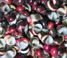 "Zigzag Nerite Shells .5""   10 pcs. by Atlantis Shell Co., http://www.amazon.com/dp/B00H3T12K8/ref=cm_sw_r_pi_dp_FVRNtb19BZX7QAR1"