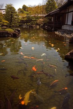 Koi waters