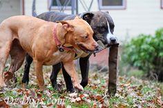 DZ's Adventures: Mud Puppies Part 1 Mans Best Friend, Best Friends, Hiking Dogs, Dog Treat Recipes, Pit Bulls, Health And Safety, Dog Treats, Dog Training, Mud