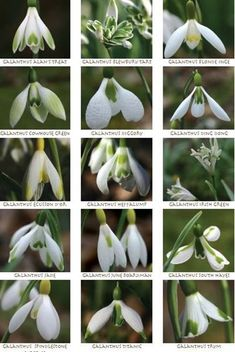 january  Snowdrop Varieties