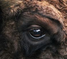 Bison bonasus right eye close-up. Photo by Michael Gäbler. Bison Pictures, Buffalo Pictures, Buffalo S, Buffalo Animal, European Bison, Animals Beautiful, Cute Animals, Eye Close Up, Eyes