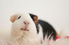 Looks like my Mr. Einstein, he was a smart piggy.It looks like he/she's smiling!  <3