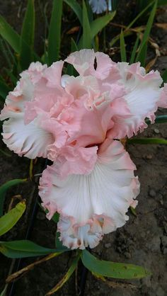 Seedling- I'm loving the pink ones.