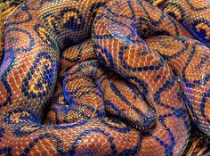 Brazilian Rainbow #Boa. #snake #reptile