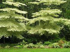 """The """"Wedding Cake Tree"""" has a unique horizontally layered habit, topped off with an uncomparable variegated foliage. Dogwood Trees, Trees And Shrubs, Trees To Plant, Flowering Trees, Forest Flame, Rhododendron, Jungle Life, Garden Shrubs, Garden Trees"""