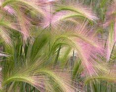 Pampas Mix herbe graines/Cortaderia selloana et vivaces 100