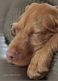 A Very Tired Wiredhaired Vizsla Pup