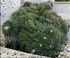 Mammillaria spinosissima 'Unpico' fa cristata