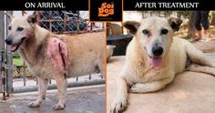 Banner arrived at our shelter having been brutally attacked with a machete. A large open wound on his side had become seriously infected and Banner was at serious risk of dying. Without our supporters funding Banner's emergency treatment, he would not be here today. Our Emergency Response Team of supporters urgently needs more members. Can you please sign up to join them? https://ert.soidog.org/?utm_source=facebook&utm_medium=FBO_L_recurringBanner&utm_campaign=ert