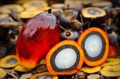 Palmöl ist das billigste, meistverwendete Pflanzenöl weltweit und wird in Nahrungsmitteln, Kosmetika und Kraftstoff eingesetzt. Die Nachfrage steigt. Dadurch werden jedoch Regenwald- und Torfgebiete großflächig zerstört, was sich katastrophal auf Biodiversität, Klima und die lokale Bevölkerung ausübt.