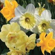 Homestead Collection              This is a great naturalizing collection!  This trio of daffodils will become a blanket of blooms to be enjoyed year after year!  Contains 20 of each Daffodil Variety: Yellow Cheerfulness, Ice Follies and Flower Carpet! Item Number:  7013  www.tulips.com