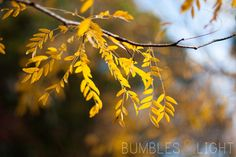 These pretty yellow leaves make me happy. :) From Bumbles & Light...
