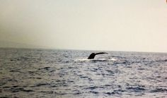 Swimming with Whales Maui Hawaii Been there, Donne that, Loved it ! Not gonna lie was scary but exciting