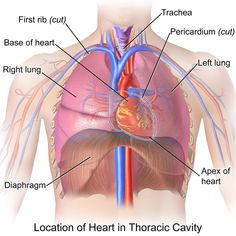 Thoracic Cavity - Anatomy - Which Organs in it? What're the Functions of it, Where is Located, Types of Cavities - Chest cavity that the chamber of the body of vertebrates that are protected? Circulatory System, Lymphatic System, Respiratory System, Thoracic Cavity, Thoracic Vertebrae, Heart Organ, Cardiac Cycle, Tricuspid Valve, Heart