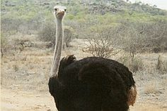 ostrich South Africa, Wildlife, African, Pictures, Animals, Photos, Animales, Animaux, Photo Illustration