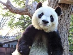 Panda Love, Panda Bear, Panda's Dream, Cute Animals, Instagram, Bears, Pandas, Pretty Animals, Cutest Animals