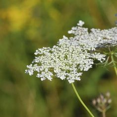 Queen Anne's lace is commonly found in dry fields and ditches.