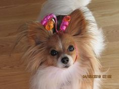 Papillon Dogs| Papillon Dog Breed Info & Pictures | petMD
