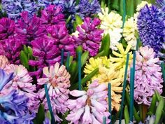 Hyacinths and Daffodils and Tulips; Oh my! - Philadelphia Gardening | Examiner.com all ready getting excited for next growing season