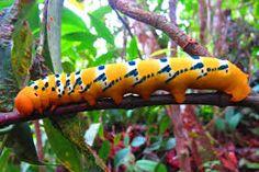 Resultado de imagen de gusanos de la selva amazonica