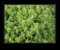 Alcarria: fuentes, flora y fauna - la mejorana. https://es.pinterest.com/riselo/flowers-plants-bushes-and-treesflores-plantas-arbu/