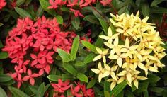 Light up your garden with Ixora, Also known as flame of woods - Plant Talk - NurseryLive Wikipedia