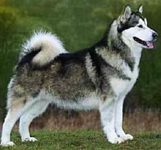 Alaskan Malamute. I totally want one of these!