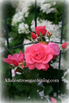 Rose Pictures rom my rose garden in 2015. These are the best and newest roses in my English rose garden with reviews.