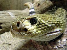 Rattle snake - Google Search