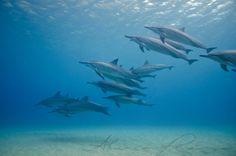 Hawaiian Spinner Dolphins. #ocean #sea #nature