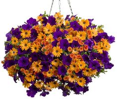 Proven Winner sunny hanging basket..Calibrachoa...Dreamsicle Osteospermum...Orange Symphony Supertunia...Royal Velvet