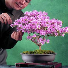 22 kinds Azalea Flower Seeds Rhododendron plant,Rare Bonsai DIY Garden Plants, Like Sakura Japanese Cherry Blooms Bonsai, Azalea Flower, Plants, Garden Plants, Cherry Blooms, Bonsai Azalea, Miniature Trees, Trees To Plant, Azaleas