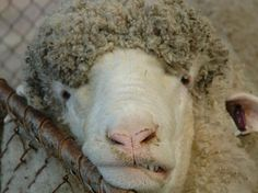 Scientists Aiming to Breed Sheep That Don't Burp : TreeHugger