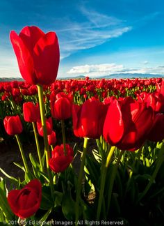 Blood Red Tulip Field Skagit Valley, Mount Vernon Washington
