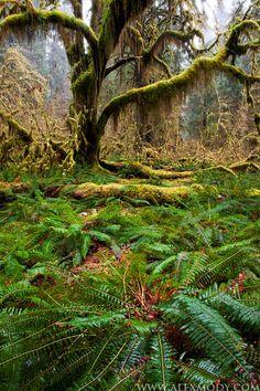 Misty Hoh  Hoh Rainforest, Olympic National Park, Washington, USA by Alex Mody.