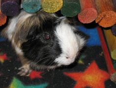 Floyd came to our house as an ill foster guinea pig and never left. His hyperness and bravery won our hearts. He was deaf and had an enlarged heart, but took his medicine every day in a raisin, often coming to stand on our feet to let us know he hadn't gotten his treat yet.