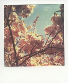 Alex Yates, Instant Bloom, Polaroid SX-70. Film photography, flowers,       Instant Bloom    Polaroid SX-70 on Impossible Project PX-70 Color Protection     Blog: Pinholista.com