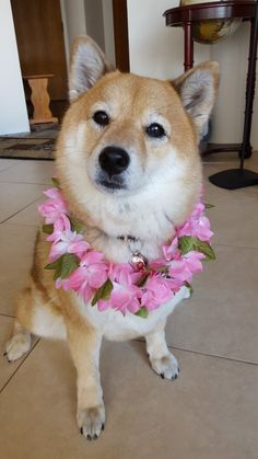 Aloha From Hawaii! Love Shiba Inus? Learn more about this breed at www.myfirstshiba.com