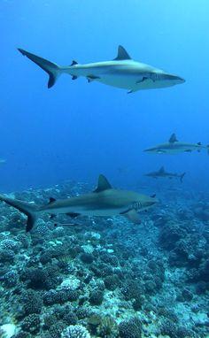Beautiful Ocean Pictures, Beautiful Nature Scenes, Nature Pictures, Shark Pictures, Shark Photos, Underwater Animals, Underwater Life, Beautiful Sea Creatures, Animals Beautiful