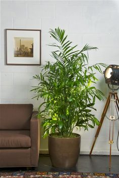 Bamboo Palm as an interior house plant.