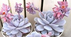 Echeveria laui is one of the most attractive of the Echevarias. It is a very slow growing, usually unbranched, succulent plant with blue...