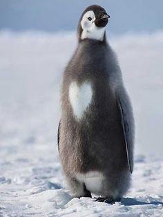 Heart Penguin! #Penguin #Heart #Love