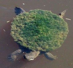 The Turtle who grew his own garden.. The Mary River Turtle, Elusor macrurus, is an endangered short-necked turtle that inhabits the Mary River in South-East Queensland, Australia..