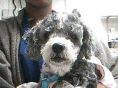 ~ Animal ID #A0269649   *** 10 Year Old SENIOR ALERT!!! ***   ‒ My Name is SUNSHINE. I am a Female, Blk/gry Miniature Poodle mix. The shelter thinks I am about 10 years old. I have been at the shelter since May 19, 2015.   Peggy Adams Animal Rescue League ‒ (561) 686-3663 3200 North Military Trail  West Palm Beach, FL Fax: (561) 472-8859 https://www.facebook.com/OPCA.Shelter.Network.Alliance/photos/pb.481296865284684.-2207520000.1432599468./824950680919299/?type=3&theater