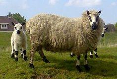 Wolle Natur Farben: Deckenprojekt Schafwolle Teil 15 mit Wolle vom Kerry Hill Schaf