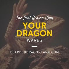 Do you know the real reason why your bearded dragon is waving? Here is why: http://beardeddragontank.com/why-is-my-bearded-dragon-waving-here-is-the-real-reason #beardeddragons #pets #beardeddragoncare #reptiles #reptilecare #animals