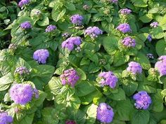 DIY  Flossflowers (aka Ageratum) for your yard    Who knew keeping mosquitoes away could be so pretty? Flossflowers are great for full or partial-sun yards and emit a smell that those little blood-sucking bugs just do not like. It's called coumarin, and it's often used in store-bought repellents. Growing your own is an easy and attractive way to keep the skeeters away.