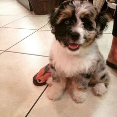 Australian Shepherd + Poodle = Aussiepoo — Another Aussie to add to the poodle posse.