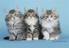 Norwegian Forest Kittens are...gorgeous!