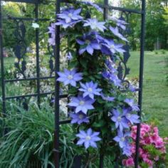 Inmultirea prin butasire a clematitelor (Clematis) Flowers, Gardens, Agriculture, Lavender, Plant, Toy, Outdoor Gardens, Royal Icing Flowers, Flower